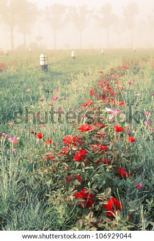 rose and fog - stock photo