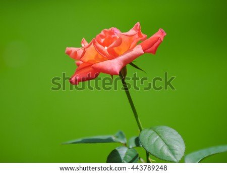 rose and greenbackground