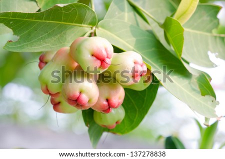 Rose apple on tree - stock photo