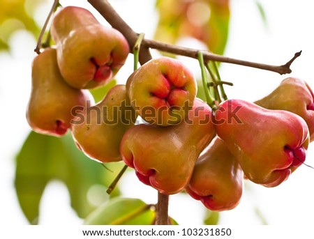 rose apple on tree in garden - stock photo
