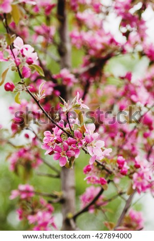 Rose apple tree branch in bloom over natural defocused bokeh background, close up - stock photo