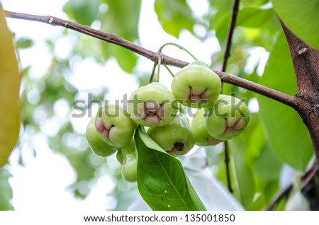 Rose apples or green chomphu on tree in orchard,Thailand - stock photo