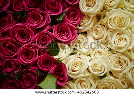 Rose background - stock photo