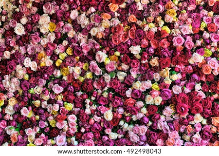 rose background colorful rose wall background stock photo