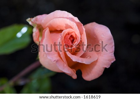 Rose 'Blessings'