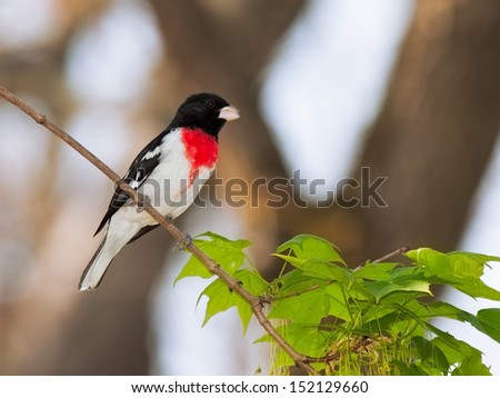 Rose-breasted Grosbeak perched on the branch of a maple tree. Bright red breast stand out against its white and black feathers. Background is soft soft sky blues and out soft focus tree branches. - stock photo