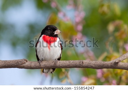 Rose-breasted Grosbeak perched on the branch of a redbud tree. The black, red and white feathers explode against the pastel colors of the pink redbud flowers, green leaves and blue sky.