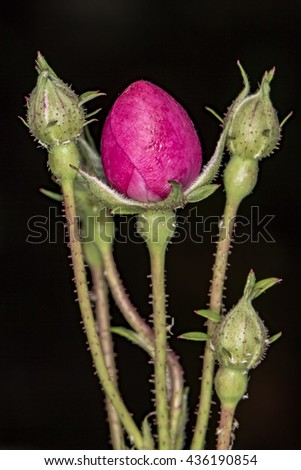 Rose Bud close up - Flower Bud macro - stock photo