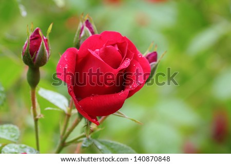 Rose buds in the garden over natural background after rain - stock photo