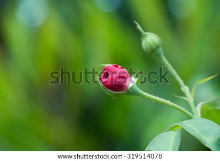 Rose buds over nature background in rainy season - stock photo
