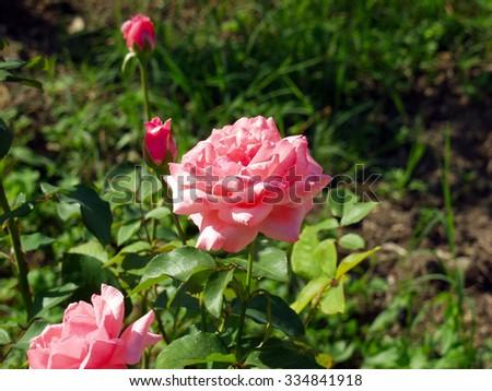Rose bush lat. Monique Lestournelle - stock photo