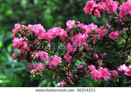Rose bush with bright pink roses over a green background - stock photo