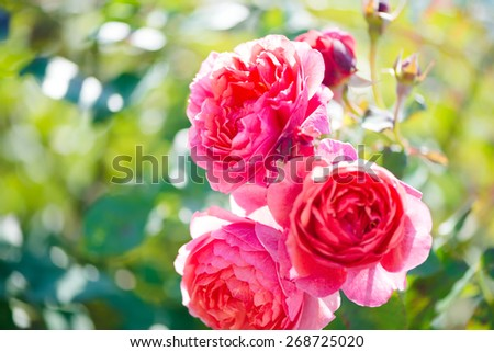 Rose bush with lots of pink roses in bloom, soft focus