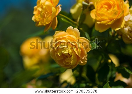 Rose bush with lots of roses in bloom, soft focus - stock photo