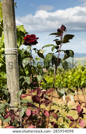 Rose bushes next to the vines in Tuscany, Italy - stock photo