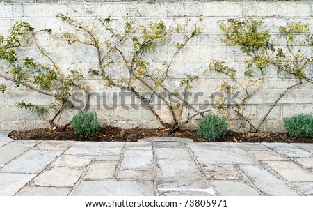 Rose bushes trained up a stone wall