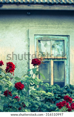 Rose bushes with broken window of an old abandoned house in the background. Toned effect