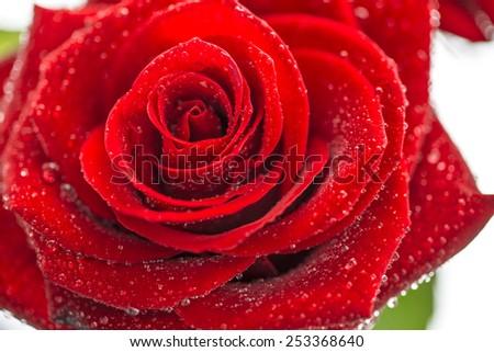 Rose, close up, isolated on white. - stock photo