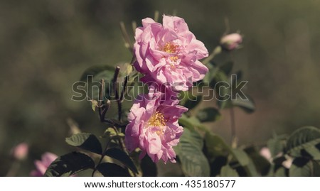 Rose damascena flowers in the Bulgarian rose valley