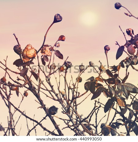 Rose faded (died down). Dry flowers bush. Autumn garden. Pink sunrise sky in the blur background.The end of the season. Parting. Nature abstract. Toned colors