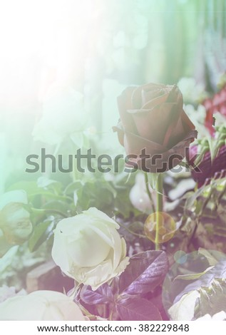 rose flower filters rose background. - stock photo