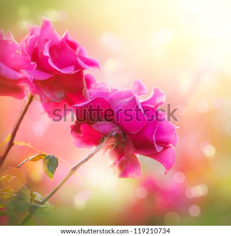Rose Flower. Growing and Blooming Roses - stock photo