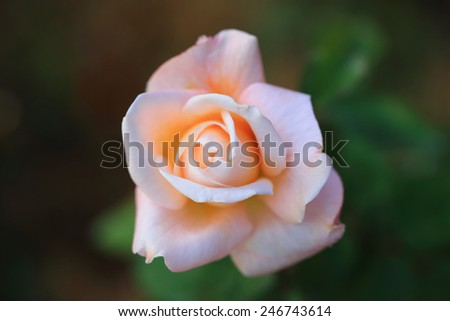 Rose flower in nature plant - stock photo