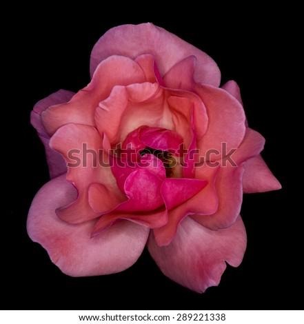 Rose flower isolated on black background - stock photo