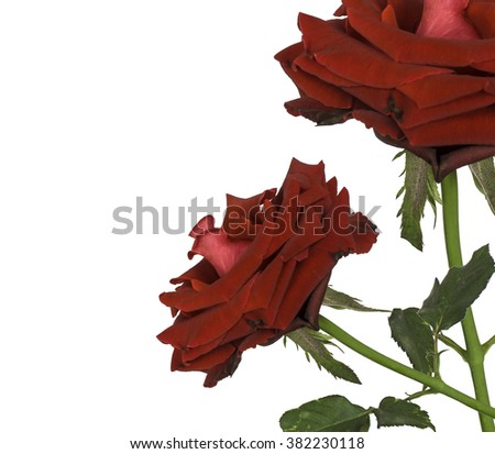 rose flower nature red rose isolated on white background - stock photo