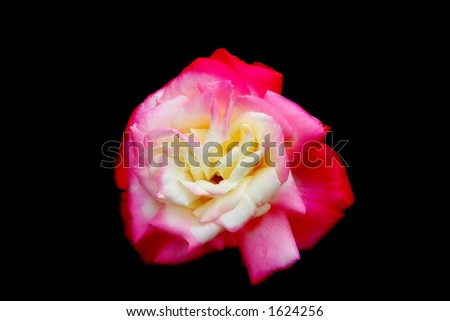 rose flower petals red pink - stock photo