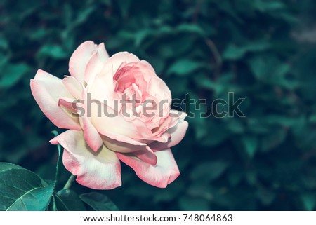 Rose flower pink summer flowerbed close up