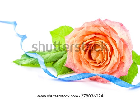 Rose flower with blue ribbon on white background - stock photo