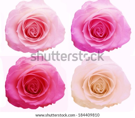 rose flowers buds floral background - stock photo