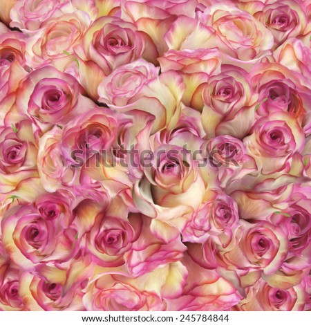 Rose Flowers Close Up For Background - stock photo