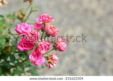 rose flowers in the nature