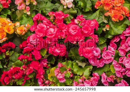 rose flowers on garden