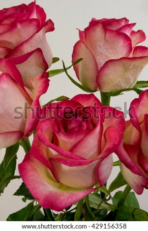 Rose flowers on light background. A rose is a woody perennial flowering plant of the genus Rosa, in the family Rosaceae, or the flower it bears. - stock photo