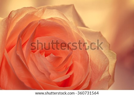 Rose for you - stock photo