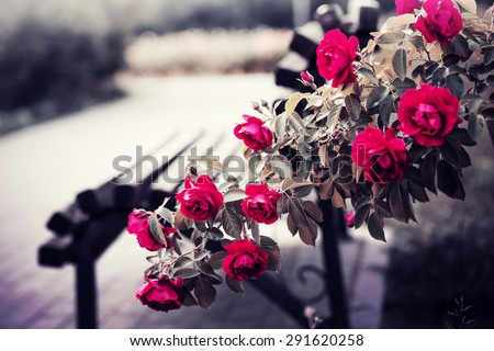 Rose garden in the park with empty wooden bench - stock photo
