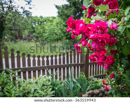 Rose garden on countryside in Mazovia region, Poland