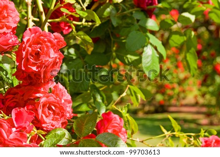 Rose garden, red roses in bloom. park with romantic flowers in arch or arbour