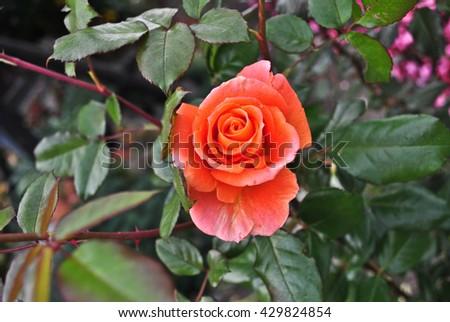rose garden, shrub roses - stock photo