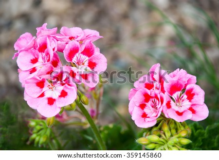 Rose geraniums in the garden - stock photo