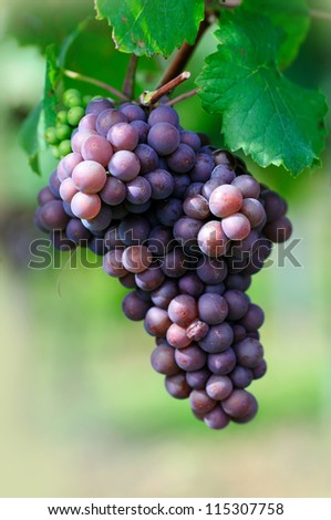 Rose grape - stock photo