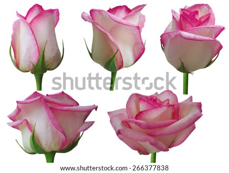Rose growth stages isolated on white background  - stock photo