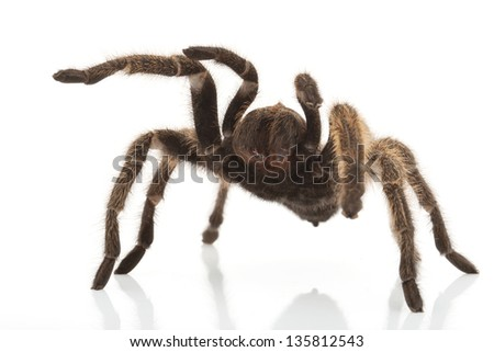 Rose Hair Tarantula (Grammostola rosea) isolated on white background.