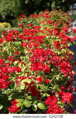 rose hedge - stock photo