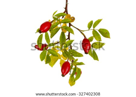 Rose hips isolated on white background. season specific
