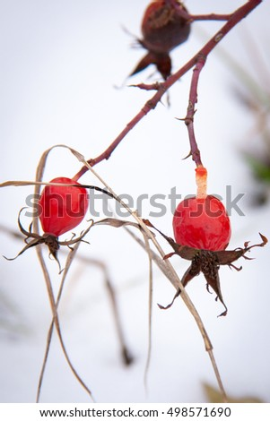 Rose hips on branch