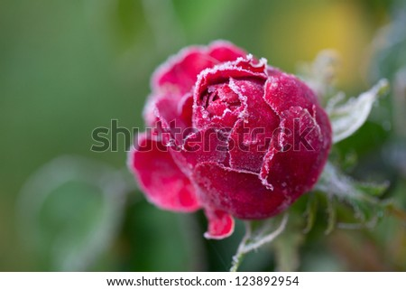 rose in frost - stock photo